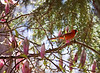 Cardinal in the Blossoms<br /> <br /> Saw my first cardinals in the Washington, D.C. area -- I was so excited!
