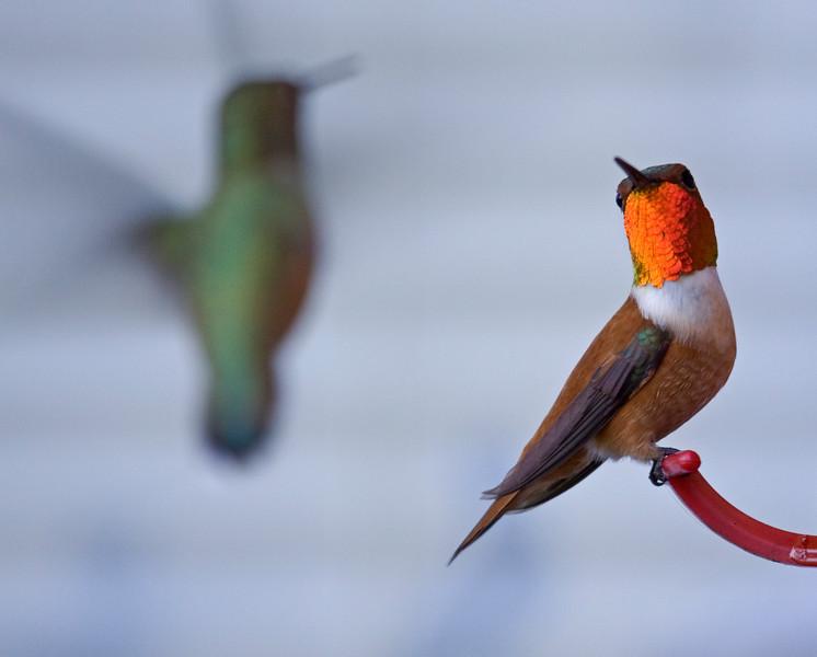 Hummingbird, Anna's?<br /> Brush Prairie, WA