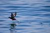 Pigeon Guillemot<br /> San Juan Islands