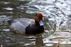 Duck, Redhead<br /> Oregon zoo