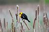 Blackbird, Yellow-headed <br /> Ridgefield Wildlife Refuge, Washington