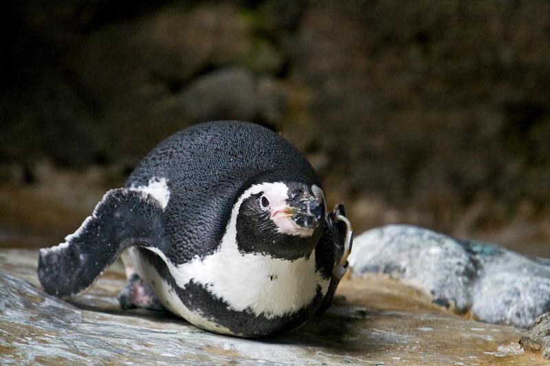 Penguin, Humboldt <br /> Oregon or Seattle zoo