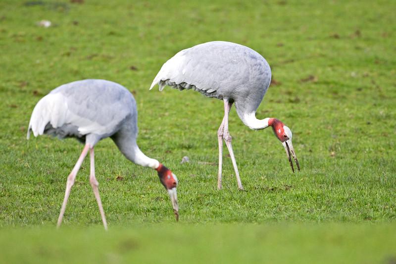 Crane, Hooded<br /> Wildlife Safari, Oregon