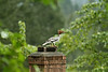 Chimney Roosing Merganser
