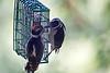 Woodpecker, Downy? feeding juvenile<br /> Brush Prairie, WA