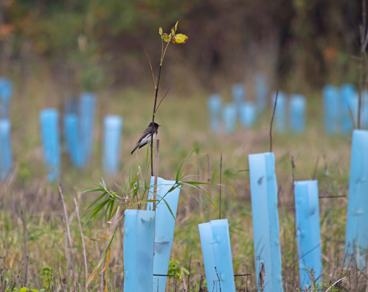 Black Phoebe<br /> <br /> Ridgefield Wildlife Refuge, Washington