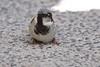 Sparrow, Black-Throated or House Sparrow?<br /> Mazatlan, Mexico