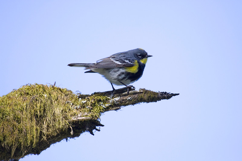 Warbler, Yellow-rumped<br /> Ridgefield wildlife refuge, Washington