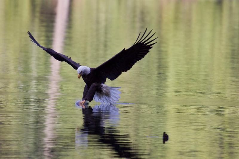 Eagle, Bald<br /> Battle Ground Lake, WA