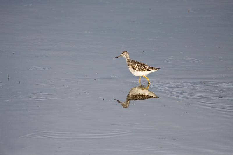 Yellowlegs -- Greater or Lesser?<br /> <br /> Ridgefield wildlife refuge, Washington