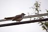 Mockingbird<br /> <br /> Saw my first one in Maryland