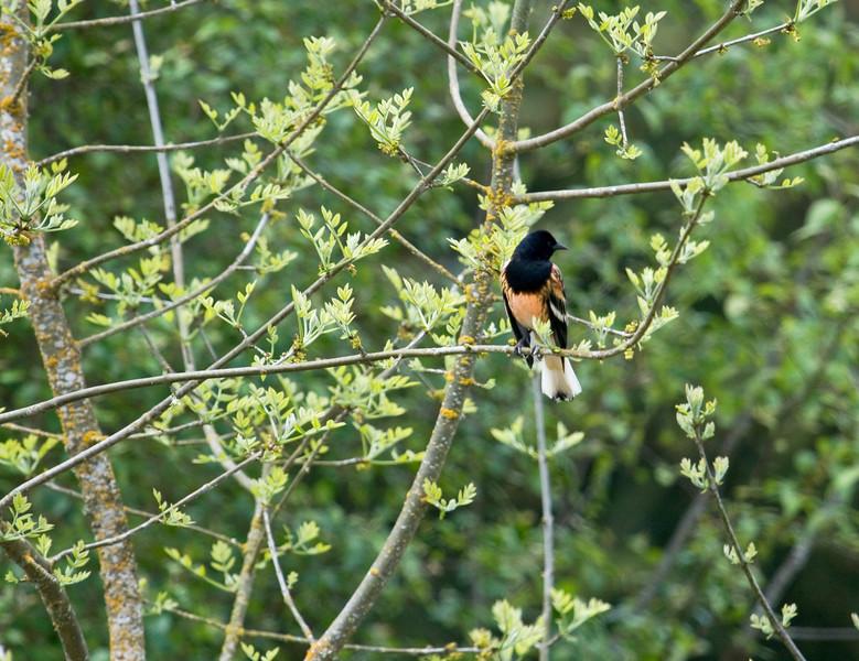 Blackbird, Red-winged - leucistic male