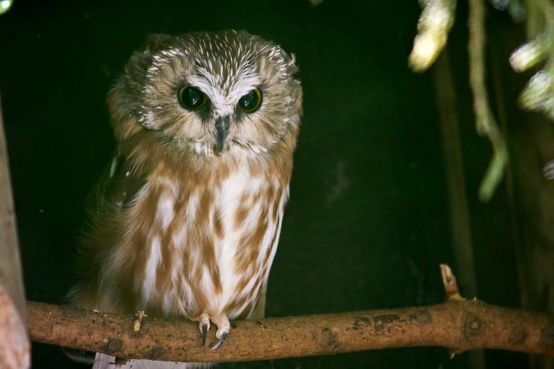 Owl, Saw Whet<br /> Oregon zoo