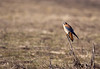 Hawk, Kestrel<br /> Ridgefield Wildlife Refuge, Washington