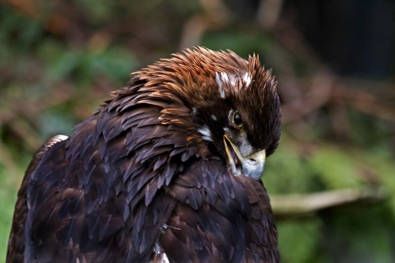 Eagle, Golden<br /> Injured, in captivity at NW Trek near Puyallup, WA