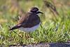 Kildeer<br /> <br /> Ridgefield wildlife refuge