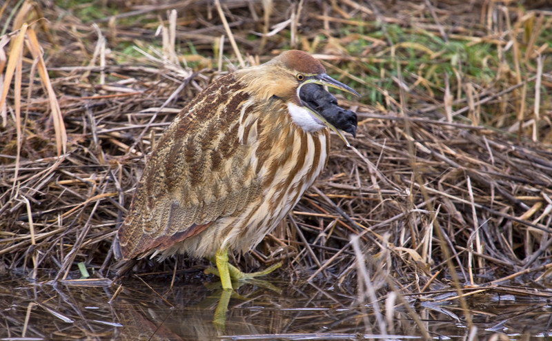 American Bittern  <br /> I didn't know they regurgitate pellets like owls do!  It stood there for hours through this process.
