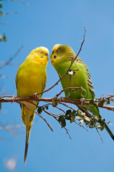 Parakeets in Love