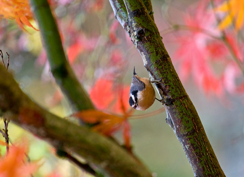 Nuthatch<br /> Vancouver, WA