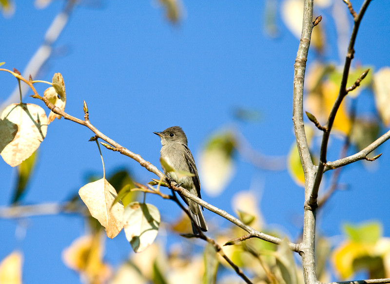 Flycatcher -- Pacific Slope?<br /> Can't remember where I took this!