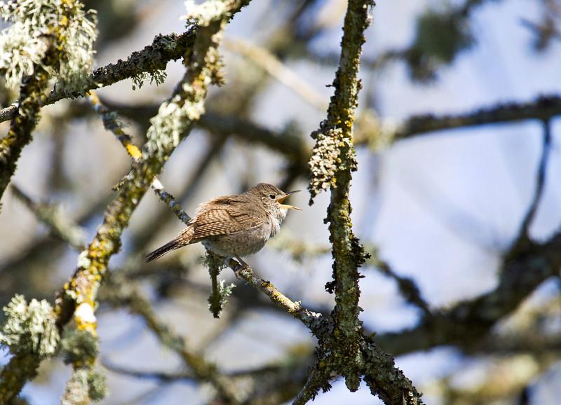 Wren, Winter<br /> Ridgefield Wildlife Refuge, Washington
