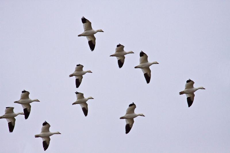 Goose, Snow<br /> Sauvies Island, Portland, OR