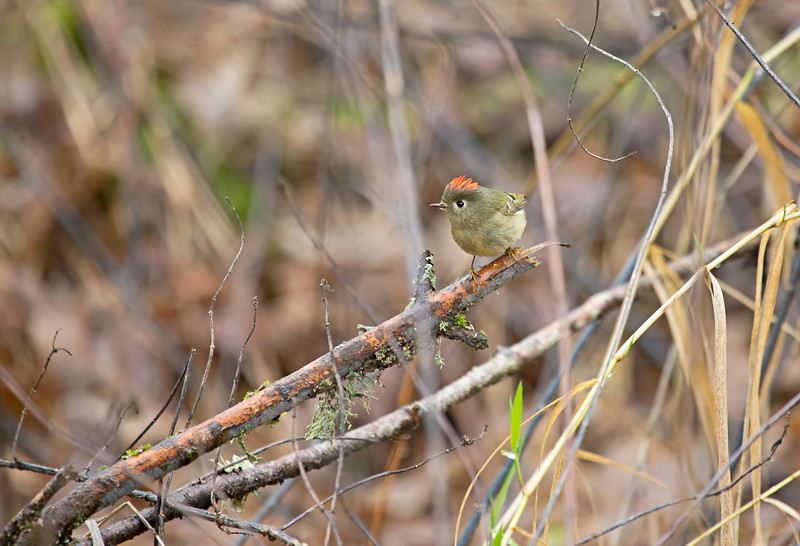 Ruby-Crowned Kinglet<br /> <br /> I finally got one with the RED crown!<br /> <br /> Ridgefield Wildlife Refuge, Washington