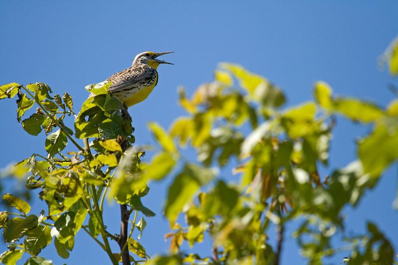 Meadowlark, Western<br /> <br /> Walla Walla, WA