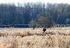 Hawk, Red-Tail Juvenile?<br /> Ridgefield Wildlife Refuge, Washington