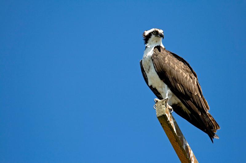 Osprey<br /> Vancouver Lake, Vancouver, WA