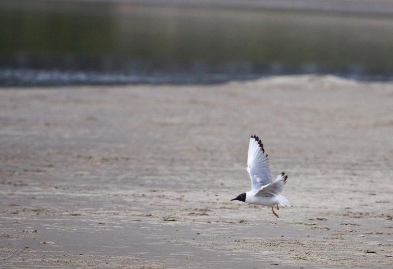 Gull, Bonaparte's or Franklin's or Black-headed?<br /> Cannon Beach, Oregon