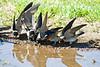 Swallows, Cliff <br /> Astoria, OR area?