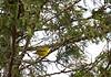 Warbler, Yellow throat<br /> Washington