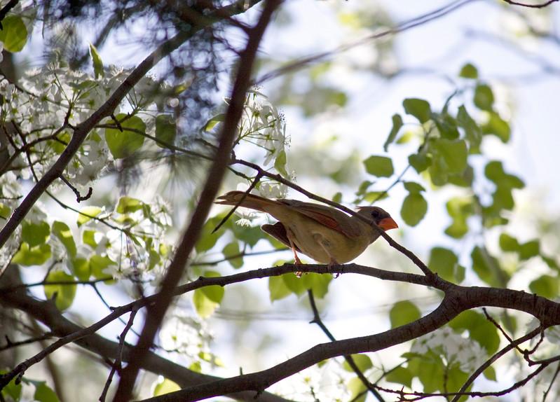 Cardinal, Female<br /> <br /> Takoma Park, MD