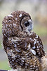 Owl, Spotted<br /> In captivity, Sauvies Island, Portland, OR
