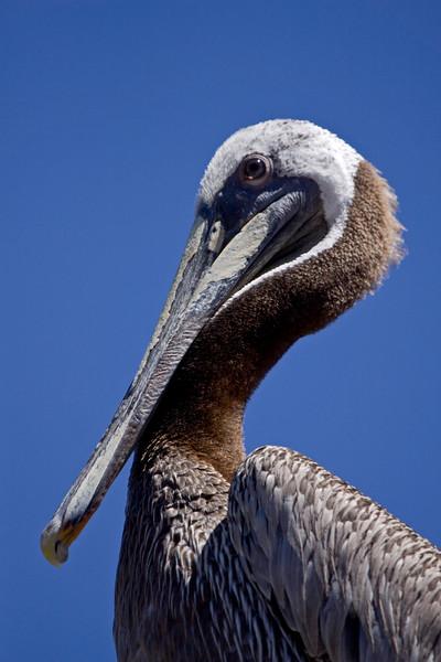 Pelican, Brown<br /> Mazatlan, Mexico