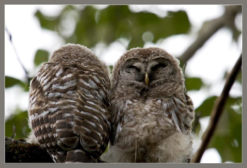 Owl, Barred? Chicks<br /> Brush Prairie, WA