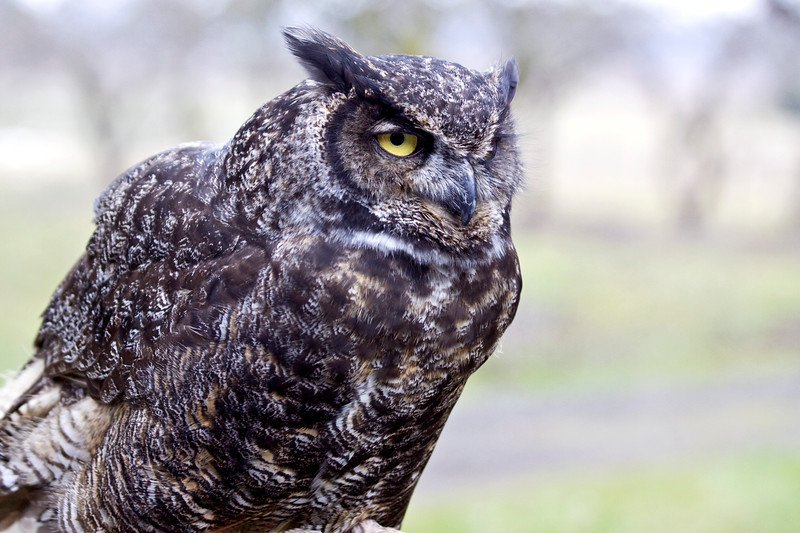 Owl, Great-horned <br /> Sauvie's Island, Oregon.  Injured -- in captivity
