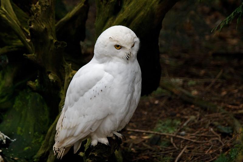 Owl, Snowy<br /> Injured, in captivity at NW Trek near Puyallup, WA