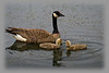 Goose, Canada<br /> Ridgefield Wildlife Refuge, Washington
