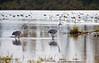 Crane, Sandhill -- amidst the Tundra Swan migration<br /> <br /> Ridgefield Wildlife Refuge, Washington
