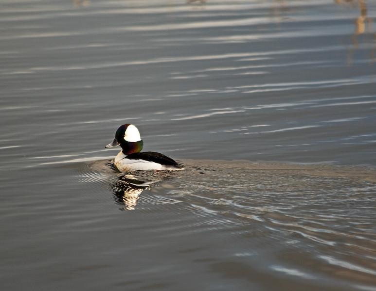 Duck, Bufflehead<br /> Ridgefield Wildlife Refuge, Washington