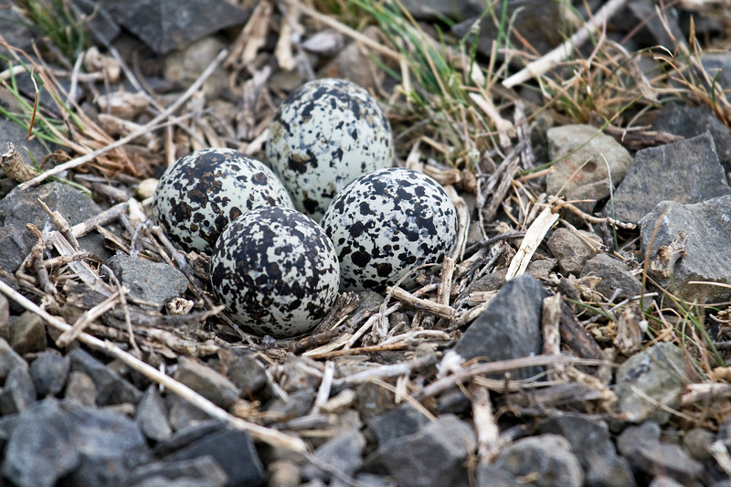 Kildeer eggs<br /> <br /> Walla Walla, WA