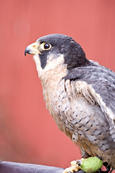 Falcon, Peregrin<br /> Sauvie's Island, OR -- injured, in captivity