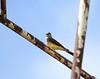 Kingbird, Western<br /> <br /> Walla Walla, Washington