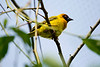 Southern Masked Weaver<br /> Seattle zoo