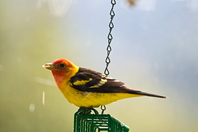 Tanager, Western<br /> <br /> I am so excited to see these birds at my feeder this year!  I've been after them for years.  They're so beautiful!
