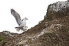 Gull - Glaucous-winged mating<br /> Cannon Beach, OR