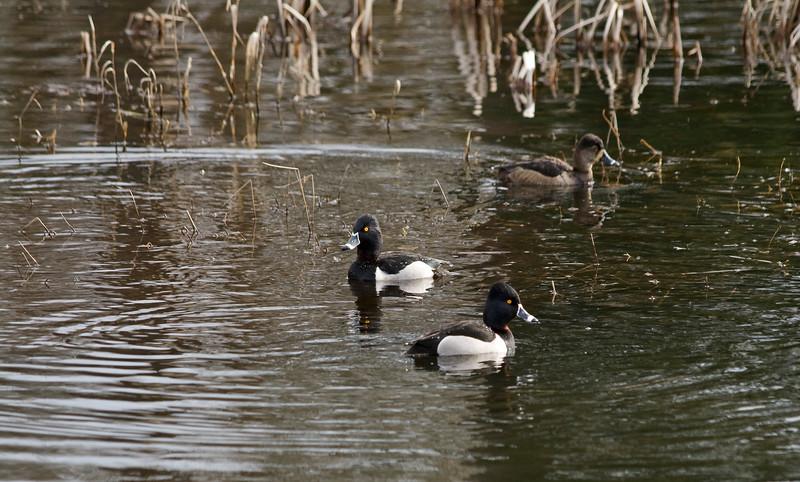 Duck, Ring-necked<br /> Ridgefield Wildlife Refuge, Washington
