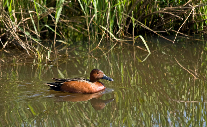 Duck, Cinnamon Teal<br /> Ridgefield Wildlife Refuge, Washington